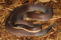 : Loxocemus bicolor; New World Sunbeam Snake