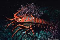 Panulirus interruptus - California spiny lobster
