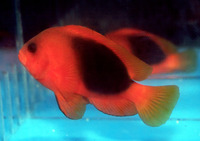 Amphiprion ephippium, Saddle anemonefish: aquarium