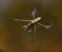 Image of: Gerridae (water striders)