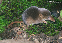 Sorex araneus - Common Shrew
