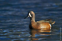 Image of: Anas discors (blue-winged teal)