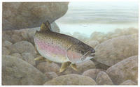 Image of: Oncorhynchus mykiss (rainbow trout)