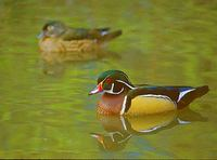 Wood Duck (Aix sponsa) photo
