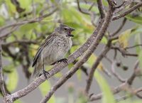 Vegetarian Finch (Camarhynchus crassirostris) photo