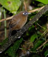 Immaculate Antbird (Myrmeciza immaculata) photo
