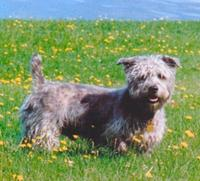 Glen of Imaal Terrier - Glen of Imaal Terrier Picture