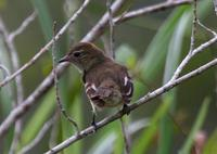 Rufous-crowned elaenia in Suriname