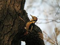 오색딱따구리 [great spotted woodpecker]
