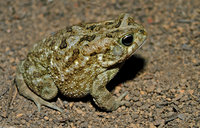 : Bufo regularis; Egyptian Toad