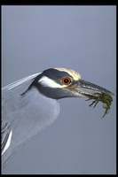 : Nyctanassa violacea; Yellow-crowned Night-heron