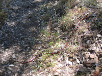 : Lampropeltis zonata multifasciata; California Mountain Kingsnake