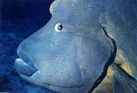 Napoleon Wrasse Close Up