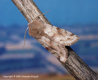 Orthosia incerta - Clouded Drab