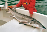 Acipenser transmontanus, White sturgeon: fisheries, aquaculture, gamefish