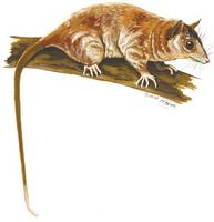 Image of: Caluromys philander (bare-tailed woolly opossum)
