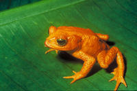 Image of: Bufo periglenes (golden toad)
