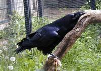 Corvus corax - Common Raven