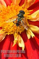 Feeling of summer , hover fly on dahlia Ann Breckenfelder stock photo