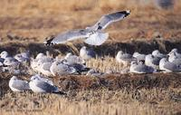 갈매기 (Common Gull) Larus canus