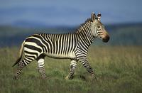 ...Cape Mountain Zebra, Equus zebra zebra, endangered species, Mountain Zebra National Park, South