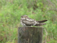 : Chordeiles minor; Common Nighthawk