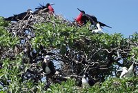 ... rubripes; Great Frigatebird Male And Red Footed Boobies