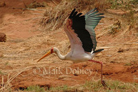 : Myceria ibis; Yellow-billed Stork