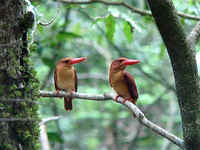 A pair of Ruddy Kingfishers in a forest