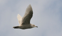 1st winter Glaucous-winged Gull Larus glaucescens
