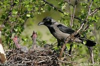 Corvus cornix - Hooded Crow