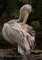 Pelecanus rufescens - Pink-backed Pelican
