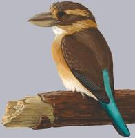 Image of: Clytoceyx rex (shovel-billed kookaburra)