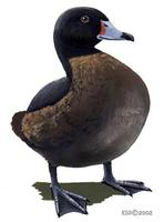 Image of: Heteronetta atricapilla (black-headed duck)