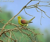Wedge-tailed Green Pigeon - Treron sphenurus