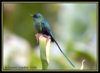 Long-tailed Sylph - Aglaiocercus kingi