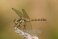 heath dragonfly ( sympetrum striolatum ) , female stock photo