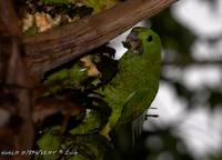 Blue-headed Racquet-tail » Prioniturus platenae