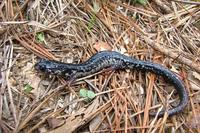 : Plethodon sequoyah; Sequoyah Slimy Salamander