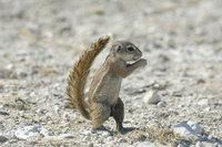 : Xerus inauris; Ground Squirrel