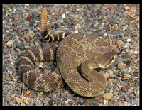 : Crotalus oreganus; Northern Pacific Rattlesnake