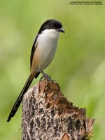Long-tailed Shrike Scientific name - Lanius schach