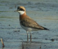 Greater Sand Plover. A fairly common breeding visitor