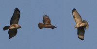Eurasian/Common Buzzard Buteo buteo