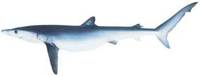 Blue Shark - Prionace glauca
