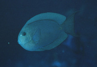 Acanthurus nubilus, Bluelined surgeon: aquarium