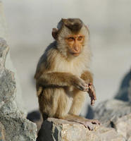 Image of: Macaca nemestrina (pigtail macaque)