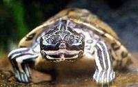Image of: Graptemys barbouri (Barbour's map turtle)