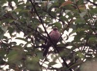 Spot-winged Rosefinch - Carpodacus rodopeplus