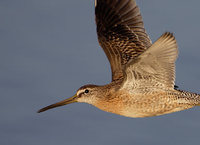 Short-billed Dowitcher (Limnodromus griseus) photo